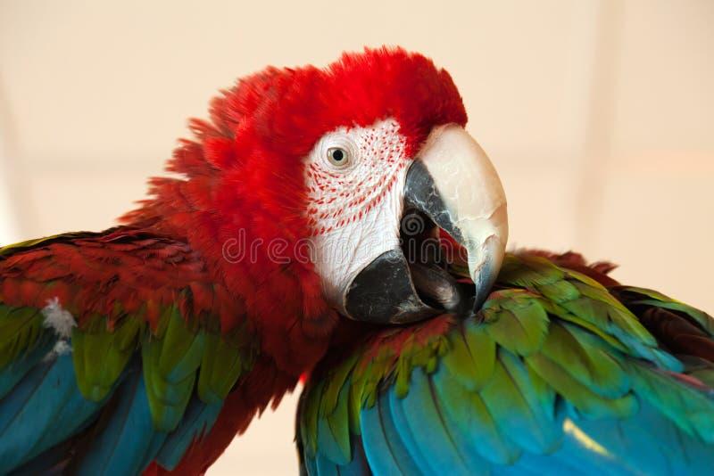 Pájaro del loro imágenes de archivo libres de regalías