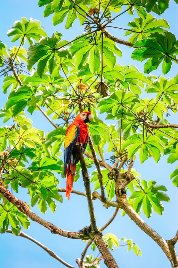 Pájaro del loro del Ara en el árbol fotografía de archivo libre de regalías