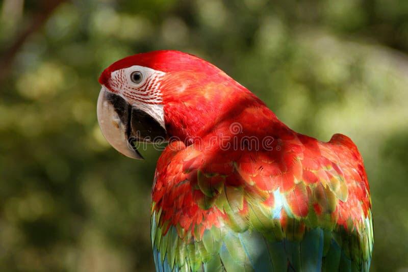 Pájaro del Macaw fotos de archivo libres de regalías