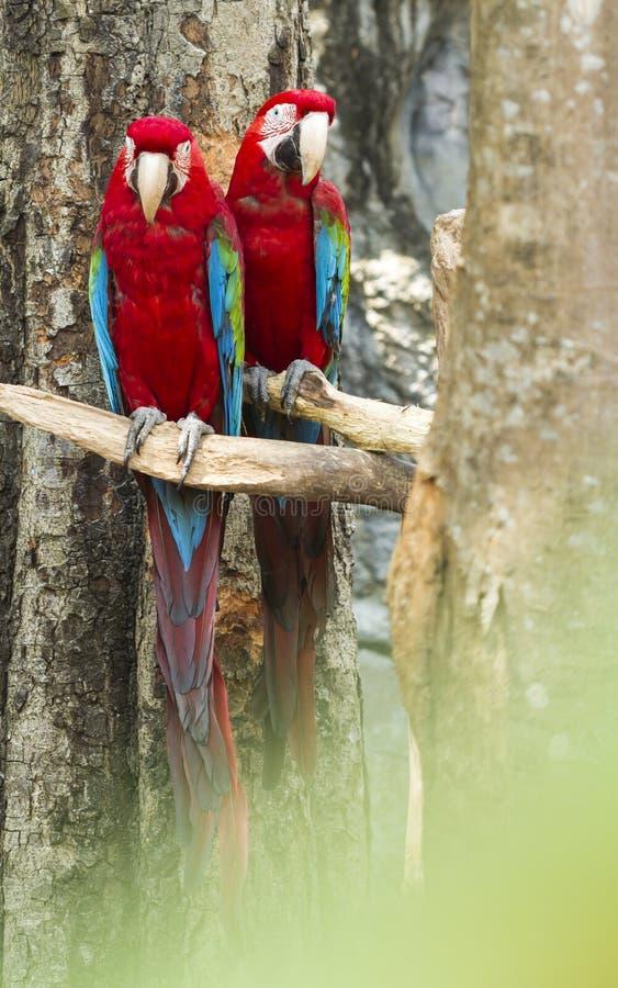 Pájaro del Macaw encaramado para que el esperar practique la mosca fotografía de archivo