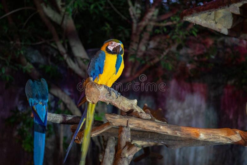 Pájaro del Macaw que hace frente a la cámara foto de archivo libre de regalías