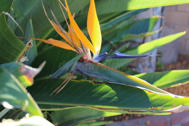 Pájaro del paraíso imágenes de archivo libres de regalías