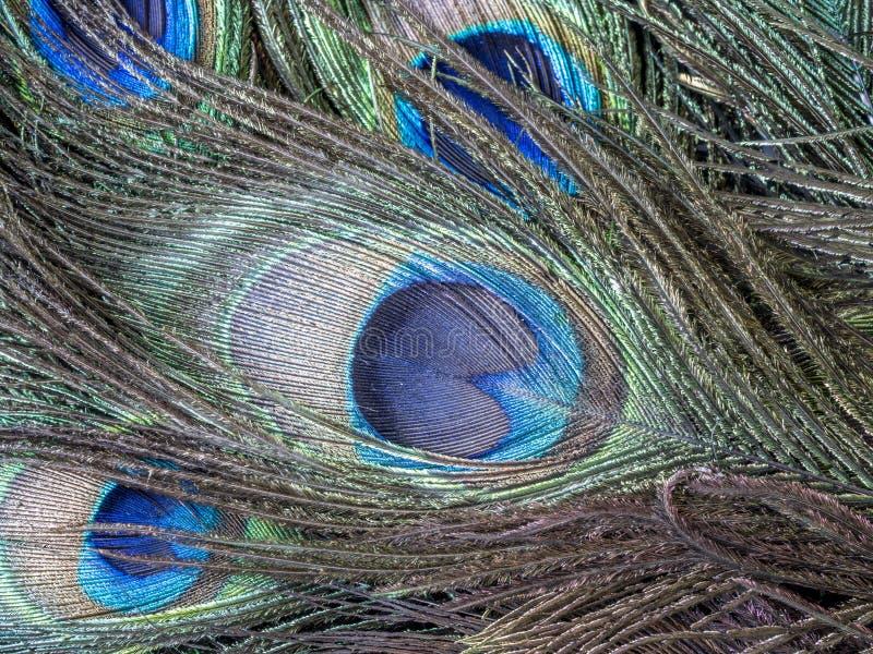 Pájaro del Peafowl o del pavo real imagen de archivo