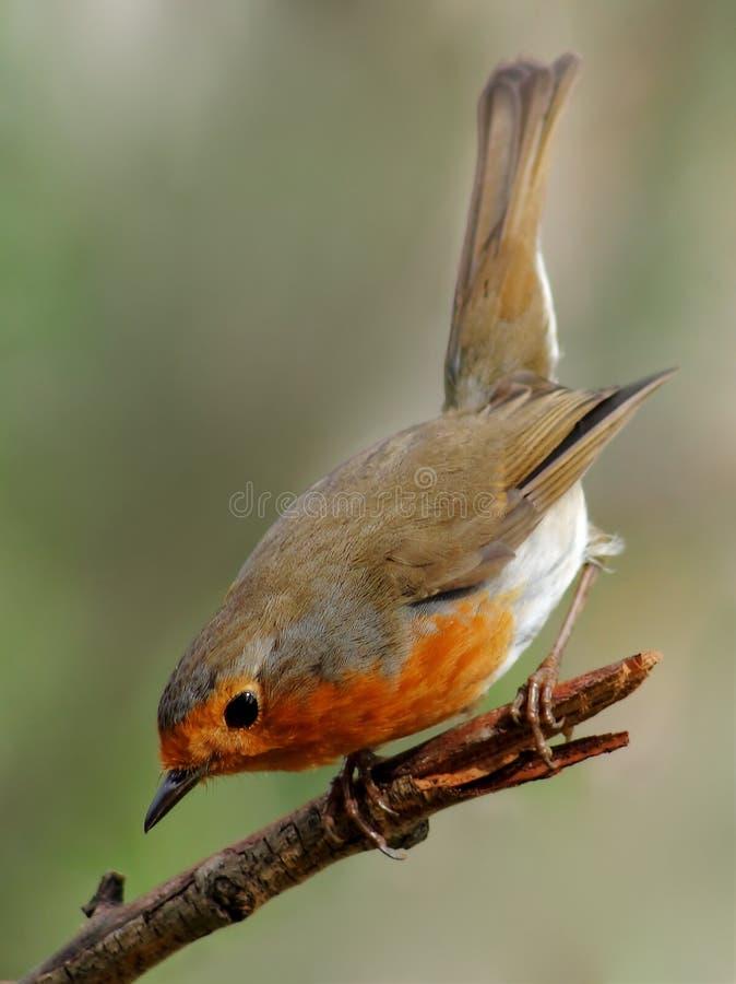 Pájaro del petirrojo imagen de archivo