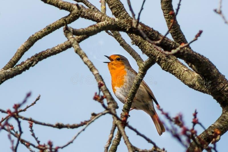 Pájaro del petirrojo que canta en el árbol fotos de archivo