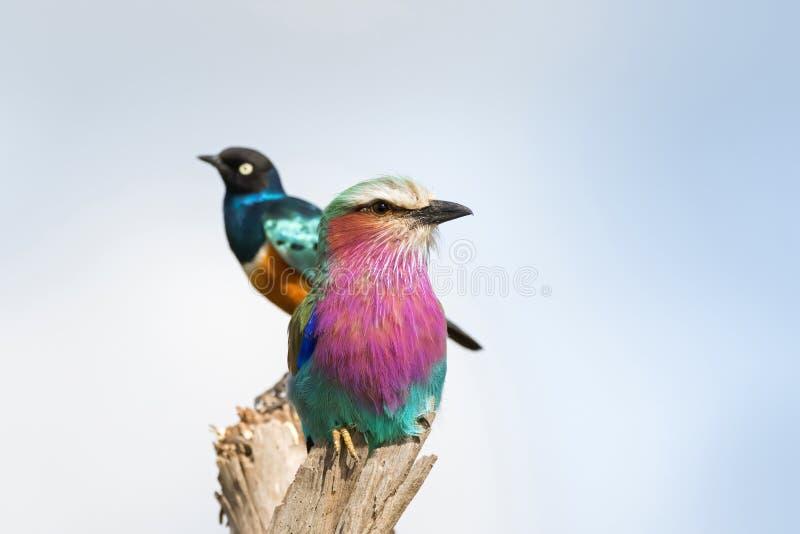 Pájaro del rodillo de Breasted de la lila que se encarama en la madera con el estornino magnífico borroso en la parte posterior e fotografía de archivo