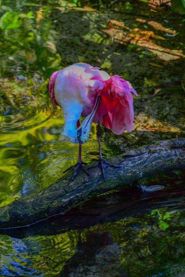 Pájaro del Spoonbill rosado que se atusa al uno mismo, rosa brillante con el fondo verde fotografía de archivo libre de regalías