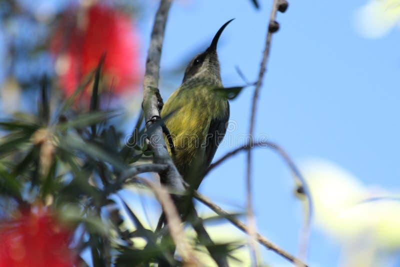 Pájaro del tarareo fotos de archivo libres de regalías
