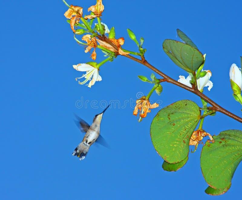 Pájaro del tarareo del resorte fotos de archivo