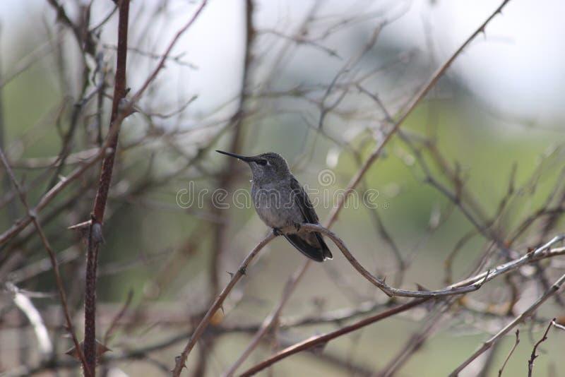 Pájaro del tarareo en árbol imagen de archivo libre de regalías