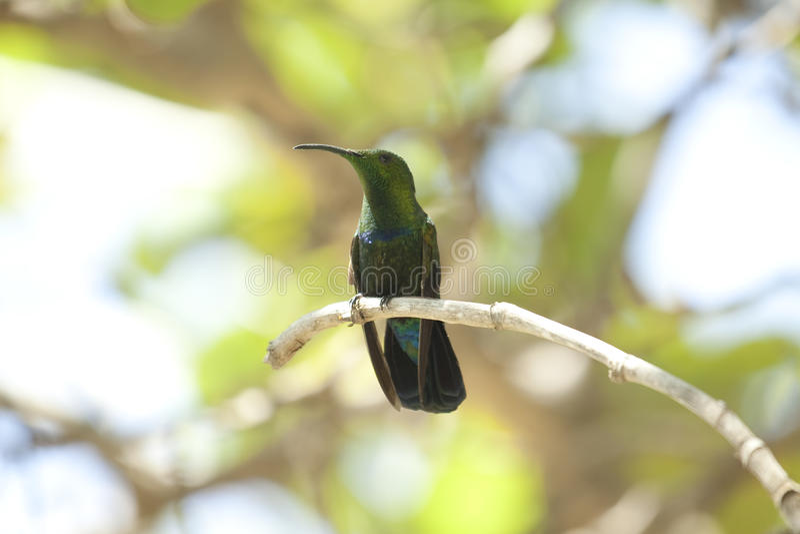 Pájaro del tarareo en árbol foto de archivo libre de regalías
