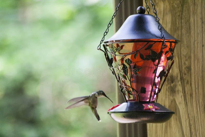 Pájaro del tarareo que alimenta 3 fotos de archivo libres de regalías