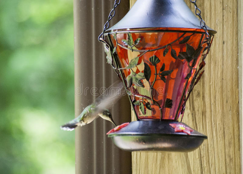 Pájaro del tarareo que alimenta 4 fotografía de archivo libre de regalías