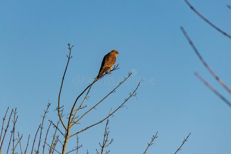 Pájaro del tinnunculus de Falco del cernícalo de la presa encaramado en ramas de árbol del invierno imagenes de archivo