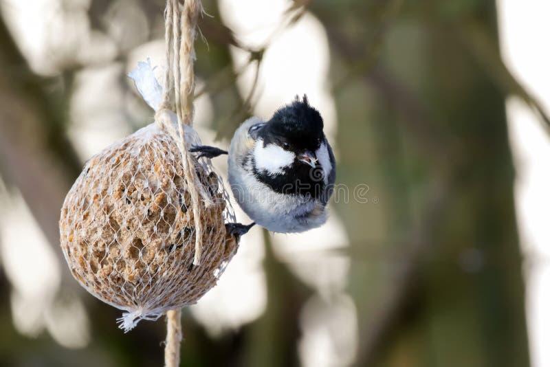 Pájaro del tit del carbón en las semillas de las nueces en bolso enredado E imágenes de archivo libres de regalías