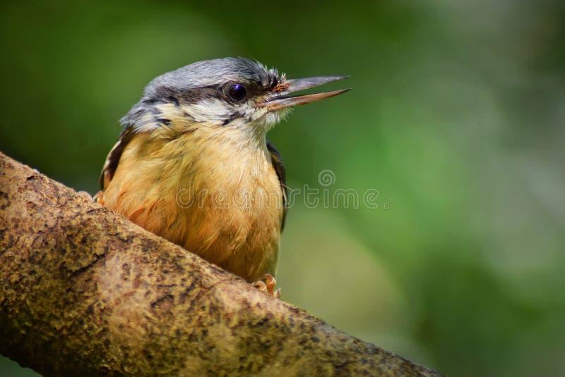 Pájaro del trepatroncos imagen de archivo