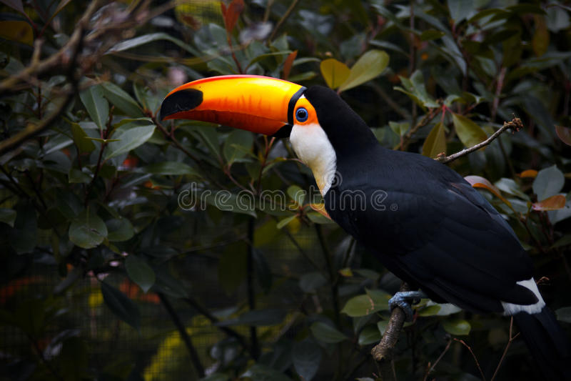 Pájaro del tucán en la naturaleza Pájaro exótico en parque fotografía de archivo libre de regalías
