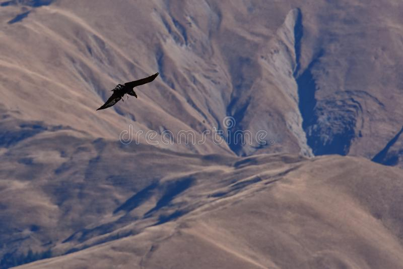 Pájaro del vuelo de la presa imágenes de archivo libres de regalías