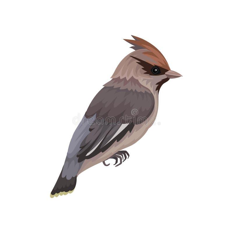 Pájaro del Waxwing con plumaje sedoso y pájaro cantante passerine de la cresta el pequeño Tema de la fauna y de la ornitología Ic libre illustration