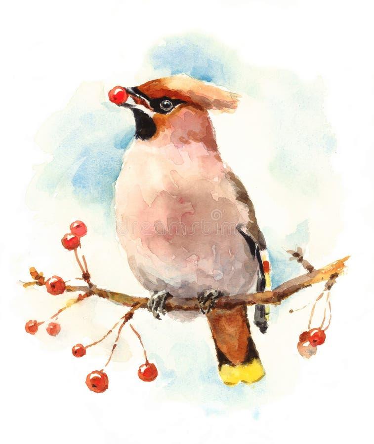 Pájaro del Waxwing en la rama con el ejemplo de la caída de la acuarela de las bayas pintado a mano libre illustration