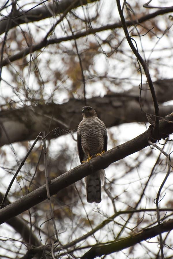 Pájaro depredador, sentándose en un árbol imagen de archivo libre de regalías