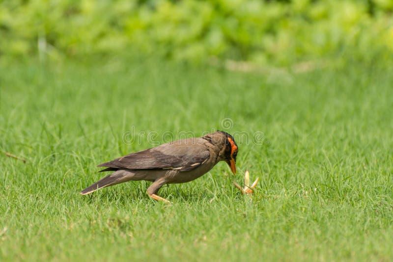 Pájaro e insecto de myna del banco imagen de archivo