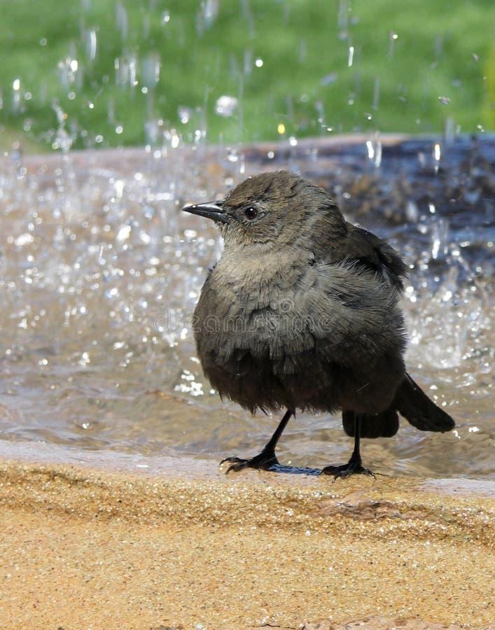 Pájaro en birdbath fotografía de archivo libre de regalías