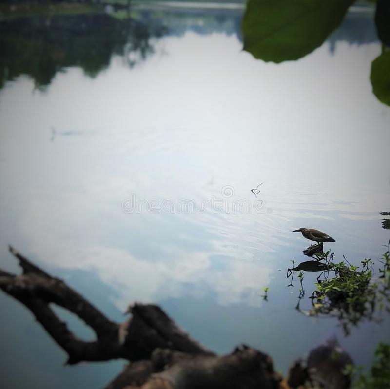 Pájaro en busca de la comida en agua fotos de archivo