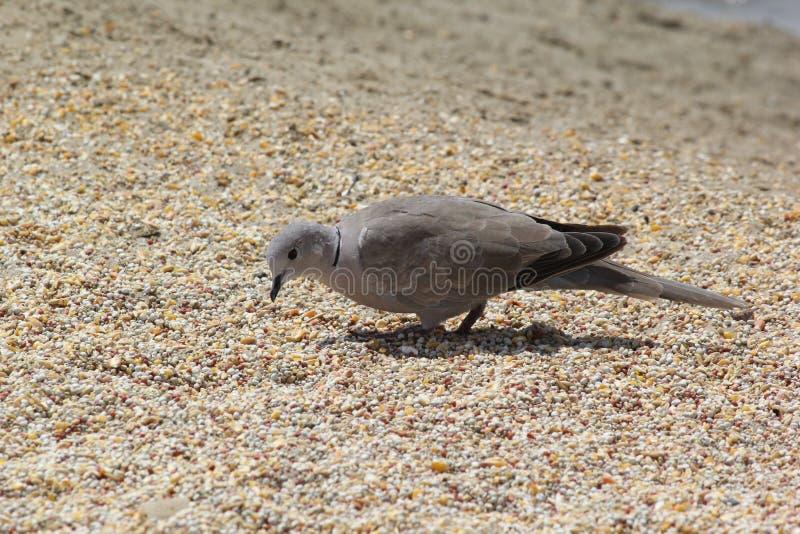 Pájaro en busca de la comida en la tierra en Dubai, UAE el 28 de junio de 2017 imagenes de archivo