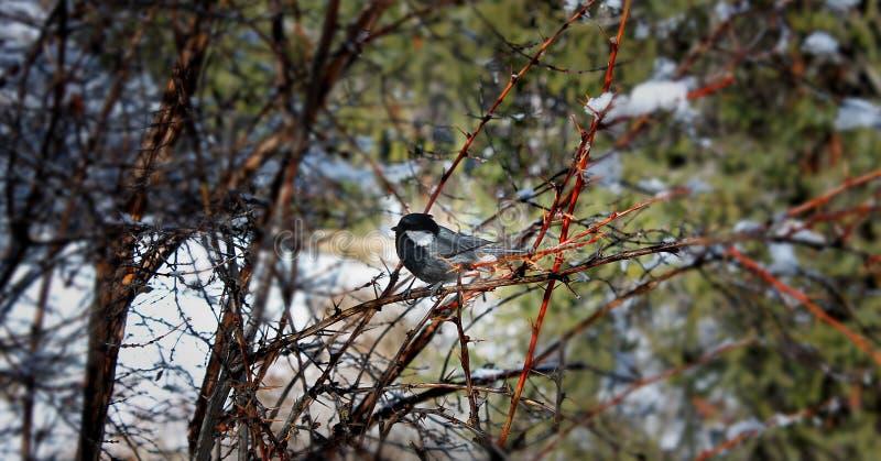 Pájaro en el árbol, naturaleza, Bishkek, Kirguistán, primavera imagenes de archivo