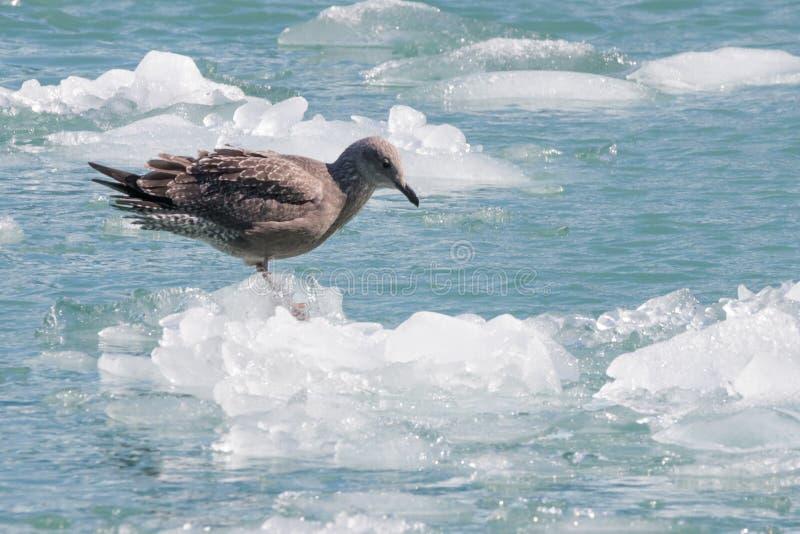 Pájaro en el iceberg del glaciar del aserrador en el fiordo de Tracy Arm foto de archivo