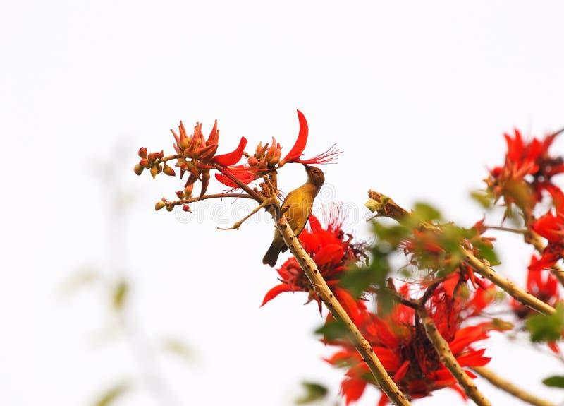 Pájaro en el indio Coral Tree, la garra del tigre abigarrado, variegata de Erythrina, flores rojas con el fondo del cielo azul fotografía de archivo libre de regalías
