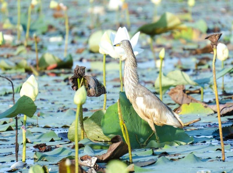 Pájaro en el lago Phatthalung, Tailandia Thalenoi fotografía de archivo libre de regalías