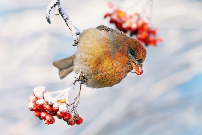 Pájaro en la ceniza de montaña Shur imágenes de archivo libres de regalías