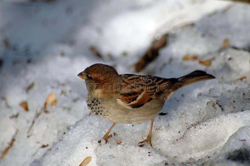 Pájaro en nieve imagen de archivo