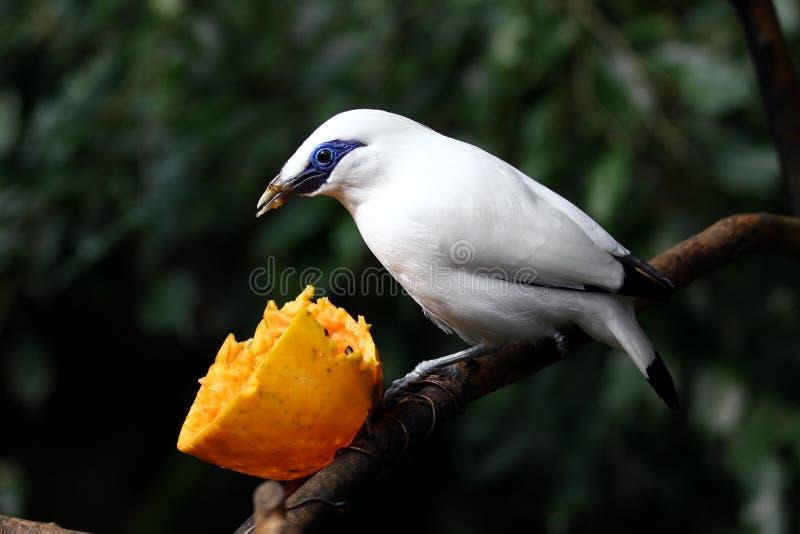 Pájaro en peligro --- Estornino de Bali imagen de archivo libre de regalías