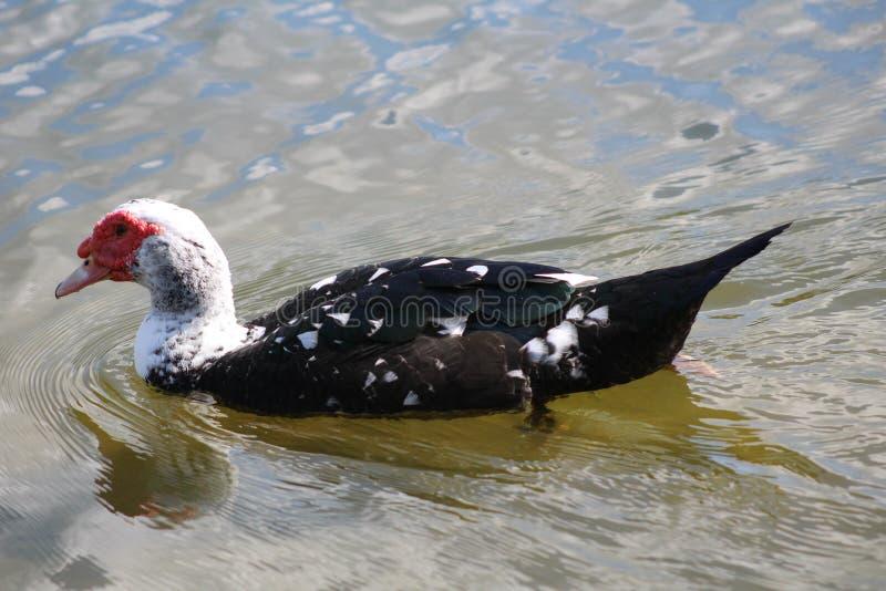 Pájaro en un lago de la Florida imagen de archivo libre de regalías
