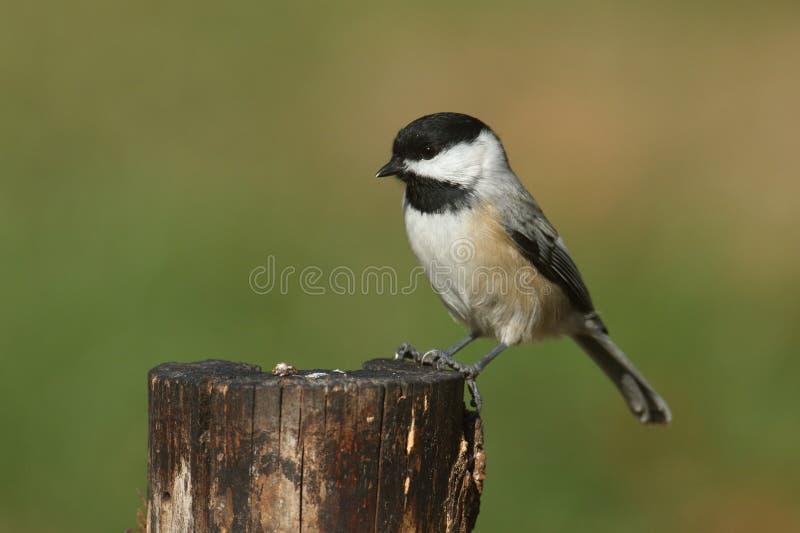 Pájaro en un tocón imagenes de archivo
