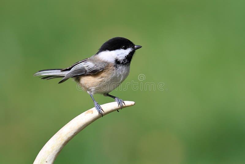 Pájaro en una cornamenta imagen de archivo