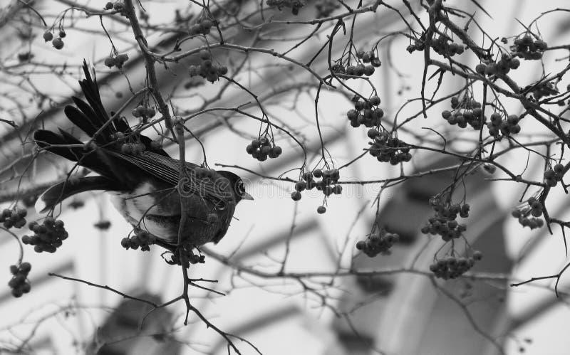 Pájaro en una rama en Cleveland fotografía de archivo libre de regalías