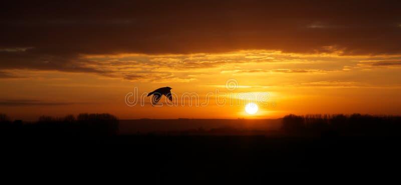Pájaro en vuelo en la puesta del sol imagen de archivo