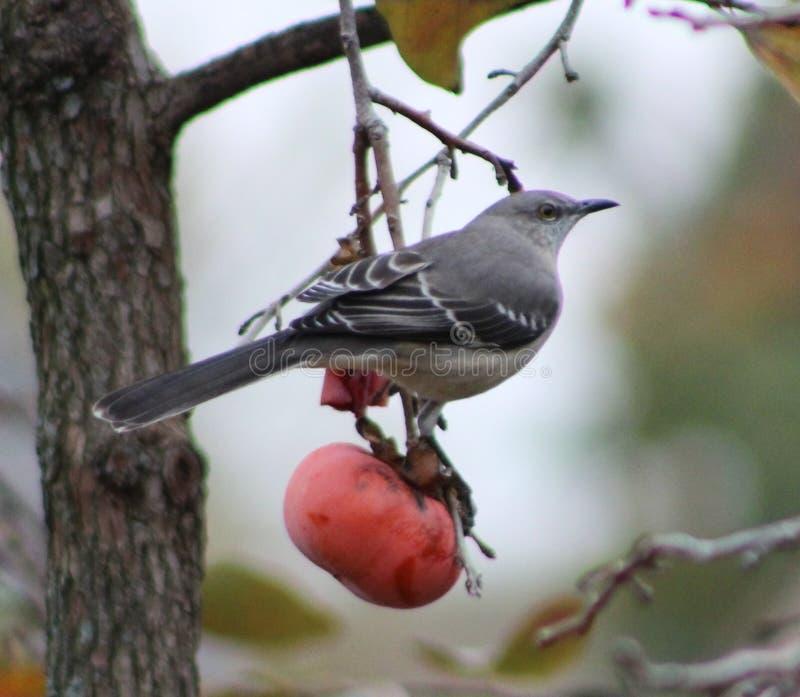 Pájaro encaramado en un pedazo de fruta fotos de archivo
