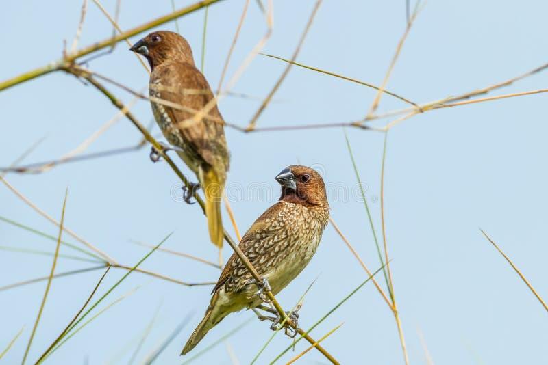 Pájaro escamoso-breasted de Munia imagenes de archivo