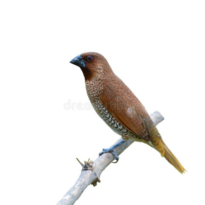 Pájaro escamoso-breasted de Munia fotos de archivo libres de regalías