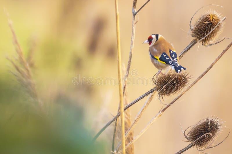 Pájaro europeo del jilguero, carduelis del Carduelis, alimentando en Dipsacus del cardo imagenes de archivo