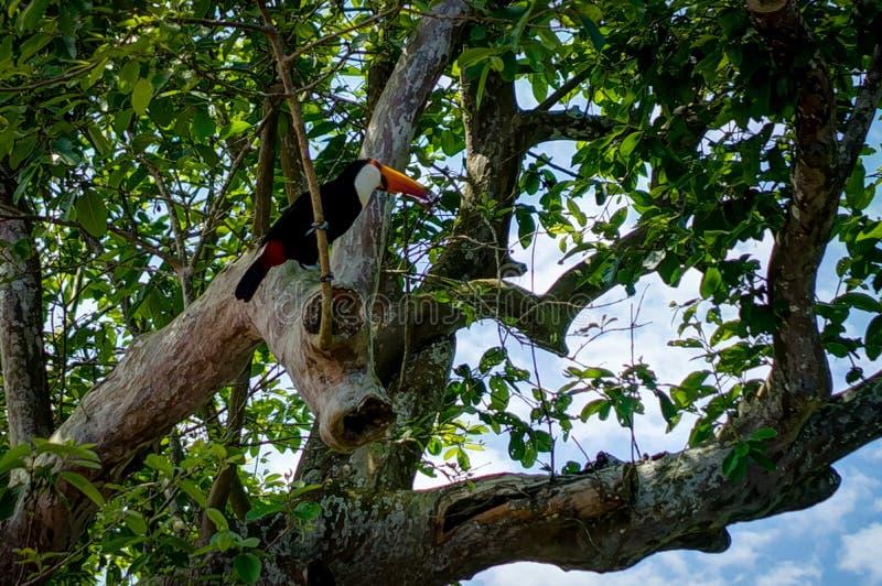 Pájaro exótico del tucán en el ajuste natural cerca de las cataratas del Iguazú en Foz d fotografía de archivo libre de regalías