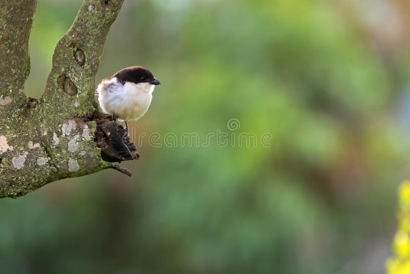 Pájaro fiscal común del alcaudón en encaramarse blanco marrón en árbol en el cráter de Ngorongoro, Tanzania, África foto de archivo