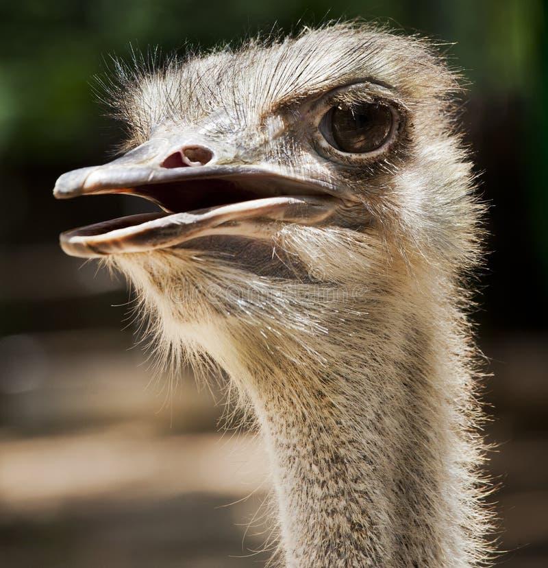 Pájaro flightless de la avestruz fotografía de archivo libre de regalías