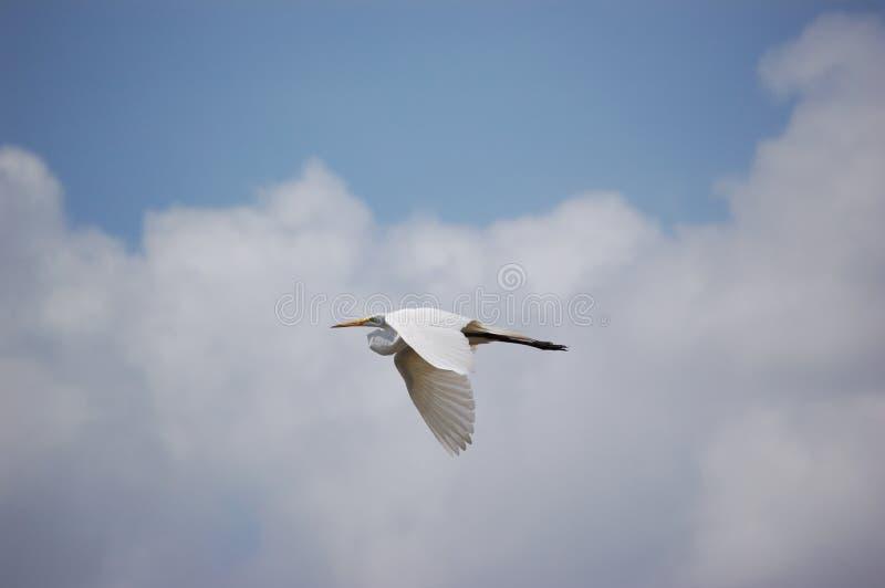 Pájaro - gran vuelo del Egret fotografía de archivo