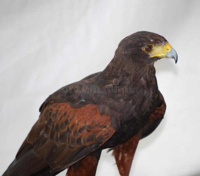 Pájaro grande de Prey con un pico enganchado imagen de archivo